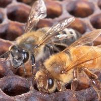 Africanized Honey Bees 200