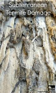 Extensive subterranean termite damage to a 2x4.