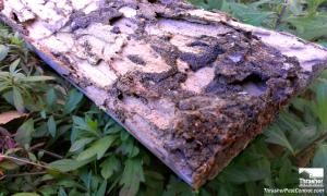Subterranean termite damage. Dark areas are a build up of termite excrement.
