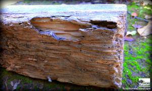 Subterranean termite damage to a 2x4.