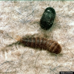 Black Carpet Beetle Clemson University - USDA Cooperative Extension Bugwood.org