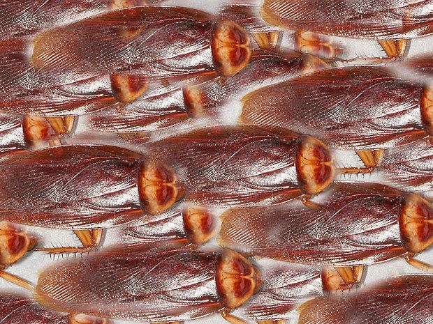 American-cockroach, Photo (cc 3.0) Gary Alpert, derivative work by Thrasher