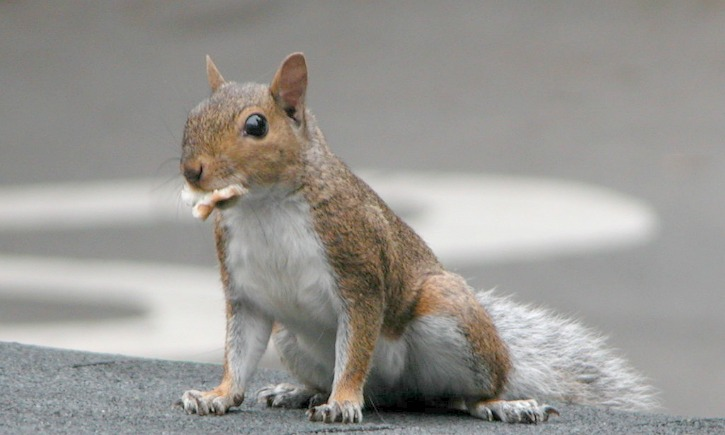 Squirrel on roof(cc) Ildar Sagdejev