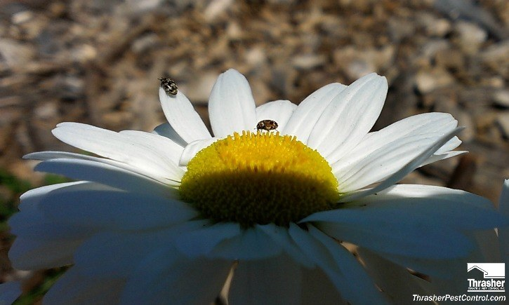 Carpet Beetles on Shasta Daisy 2