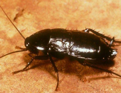 Oriental Cockroaches Invade Garages
