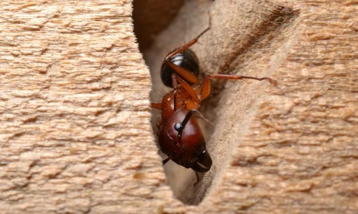 carpenter ant worker on damaged wood