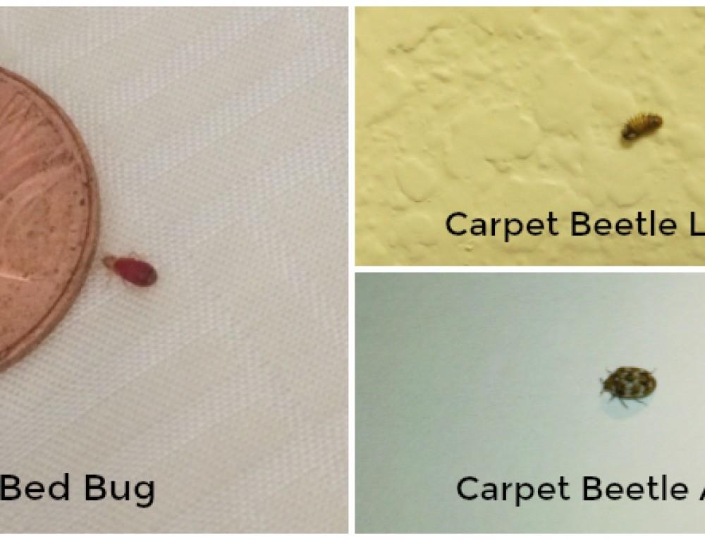 Carpet Beetle Vs Bed Bug Larvae