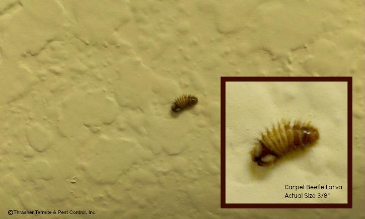 Carpet Beetles on the Climb | Thrasher Termite & Pest Control