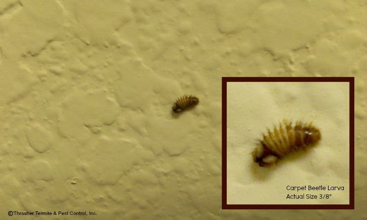 Pictures Of Carpet Beetles And Bed Bugs
