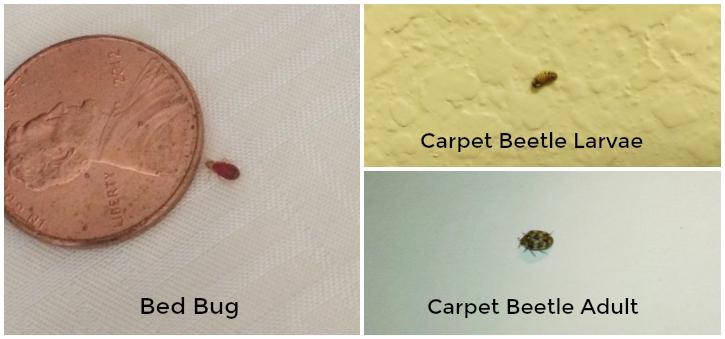Carpet Beetles On The Climb Thrasher Termite Amp Pest Control